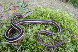 Eastern Ribbon Snake (Thamnophis sauritus sauritus)