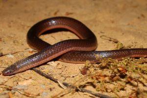 Eastern Worm snake (Carphophis amoenus amoenus)