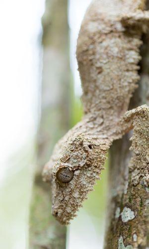 Masked mossy leaf tailed gecko