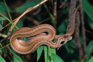 Northern Brown Snake (Storeria dekayi dekayi)