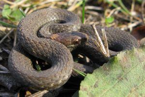 Northern Redbelly Snake - (Storeria occipitomaculata occipitomaculata)