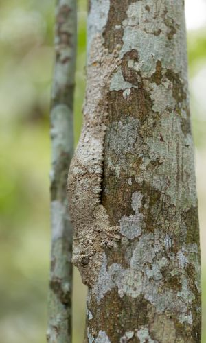 Perfectly camoflaged mossy leaf tailed gecko