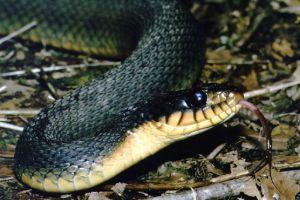 Plain Bellied Water Snake (Nerodia_erythrogaster)