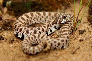 Plains Hognose Snake (Heterodon_nasicus)