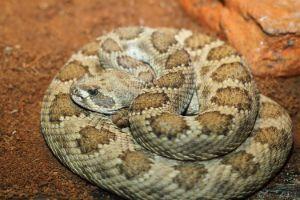 Prairie Rattlesnake (Crotalis viridis)