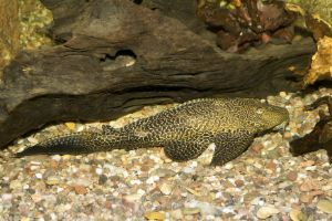 Suckermouth Catfish (Hypostomus plecostomus)