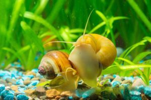 Two mystery snails in tank eating algae off glass