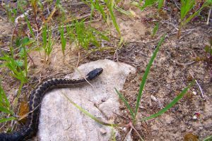 Western Terrestrial Garter Snake (Wandering Garter Snake)