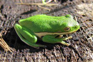 American green tree frog (Dryophytes cinereus)