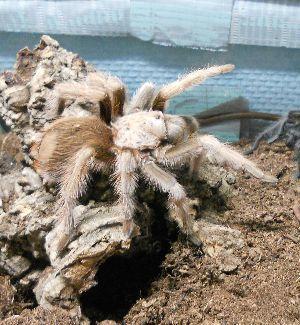 Arizona Blonde tarantula (Aphonopelma_chalcodes) in enclosure