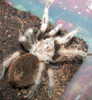Arizona Blonde tarantula (Aphonopelma_chalcodes)