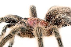 Close up of rose hair tarantula