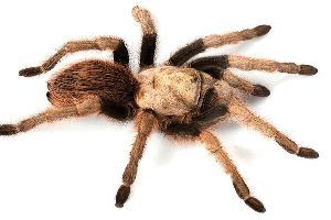 Female Arizona Blode tarantula (Aphonopelma_chalcodes)