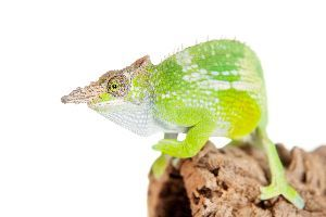 Fischers Chameleon (Kinyongia fischeri)