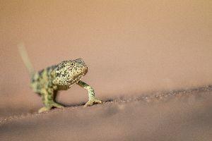 Flap necked chameleon walking in sand