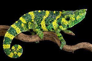 Mellers Chameleon (Trioceros melleri) on branch with black background