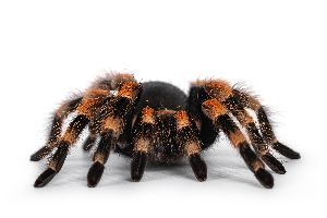 Mexican red knee tarantula on white background