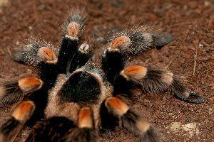 Mexican red knee tarantula walking in enclosure