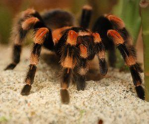 Mexican red kneed tarantula (brachypelma-smithii)