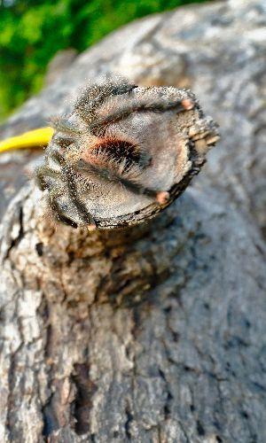 Pink toe tarantula (Avicularia avicularia) on cut down tree