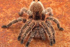 Rose hair tarantula (Grammostola rosea)