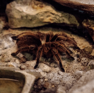 Rose hair tarantula in enclosure by water