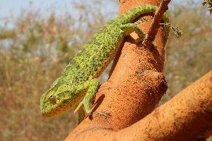 Senegal Chameleon (Chamaeleo senegalensis)