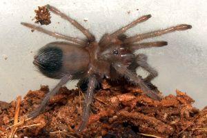 Young desert blonde tarantula in enclosure