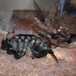 brazilian black tarantula on its back molting