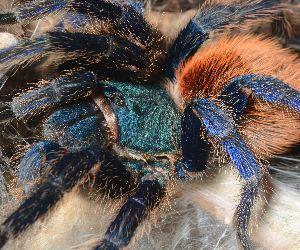 green bottle blue tarantula care (Chromatopelma cyaneopubescens)