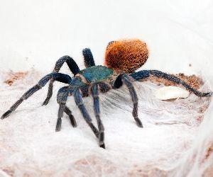 green bottle blue tarantula in web (Chromatopelma cyaneopubescens)