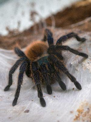 green bottle blue tarantula in web