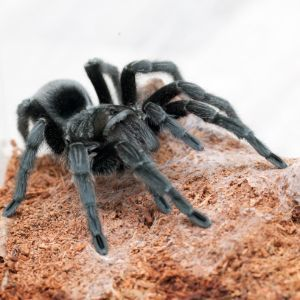 Brazilian black tarantula in enclosure