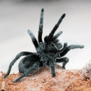 Brazilian black tarantula with legs up in air(Grammostola pulchra)