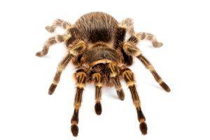 Chaco Golden knee tarantula (grammostola-aureostrista) on white