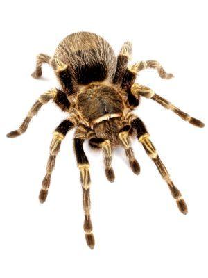 Chaco golden knee tarantula (grammostola aureostrista) on white background
