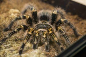Chaco golden knee tarantula in enclosure