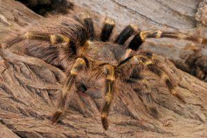 Chaco golden knee tarantula in the wild