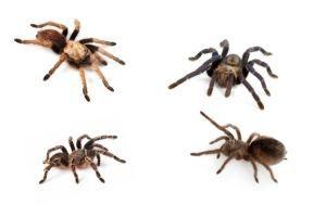 Tarantula Species