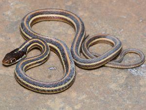 Arid Land Ribbon Snake (Thamnophis proximus diabolicus)