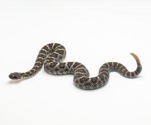 Arizona Black Rattlesnake (Crotalus cerberus)