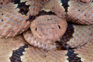 Banded Rattlesnake (Crotalus lepidus klauberi)