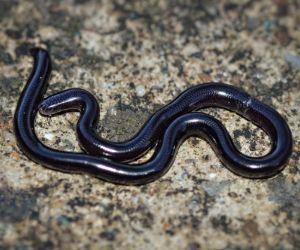 Brahminy blind snake in Australia
