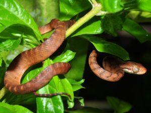 Brown tree snake on tree branch (Boiga irregularis)