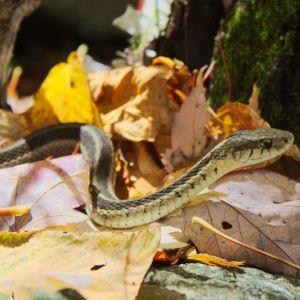 Butlers Garter Snake (Thamnophis butleri)