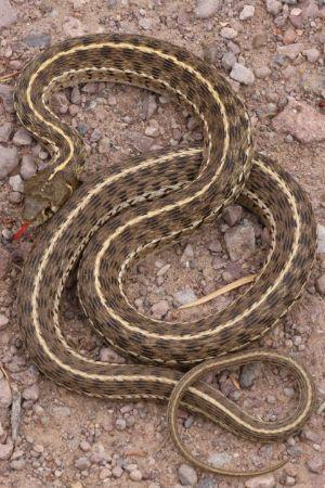 Checkered Garter Snake (Thamnophis marcianus marcianus)