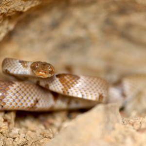Chihuahuan Lyre Snake (Trimorphodon vilkinsonii)