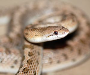 Common Glossy Snake flicking tongue (Arizona elegans)