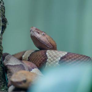 Copperhead snake in the woods near a tree (Agkistrodon contortrix)