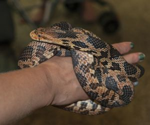Eastern Fox Snake (Pantherophis gloydi) curled around owners hand